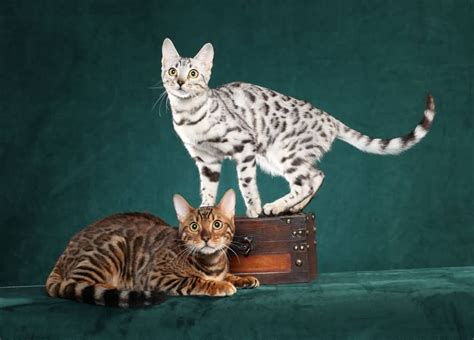 Bengal Cats Pictures