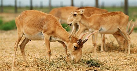 conservation body compromises  critically endangered saiga antelope