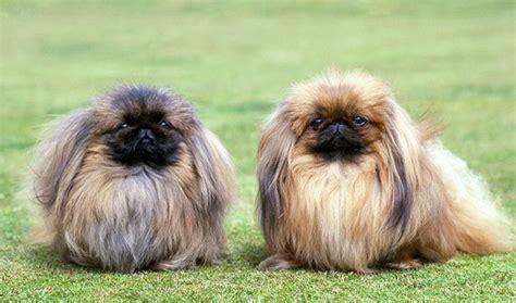 pekingese dogs pekingese breed information