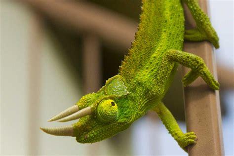 jackson s chameleon hawaii pictures