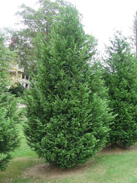 is leyland cypress still the tree to plant i think not trees planet cupressocyparis leylandii leyland cypress