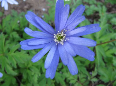 anemone apennina anemone apennina kn 246 lsippa