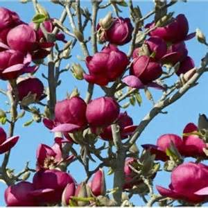 Drought Tolerant Climbing Plants - magnolia soulangeana black tulip