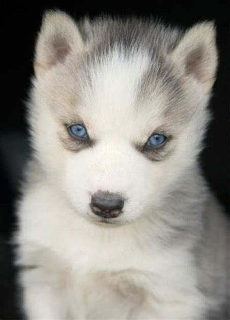 wolf husky puppies with blue eyes daqui dali 187 cachorros