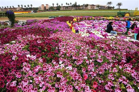 The Flower Fields In Carlsbad California Flower Gardens In California
