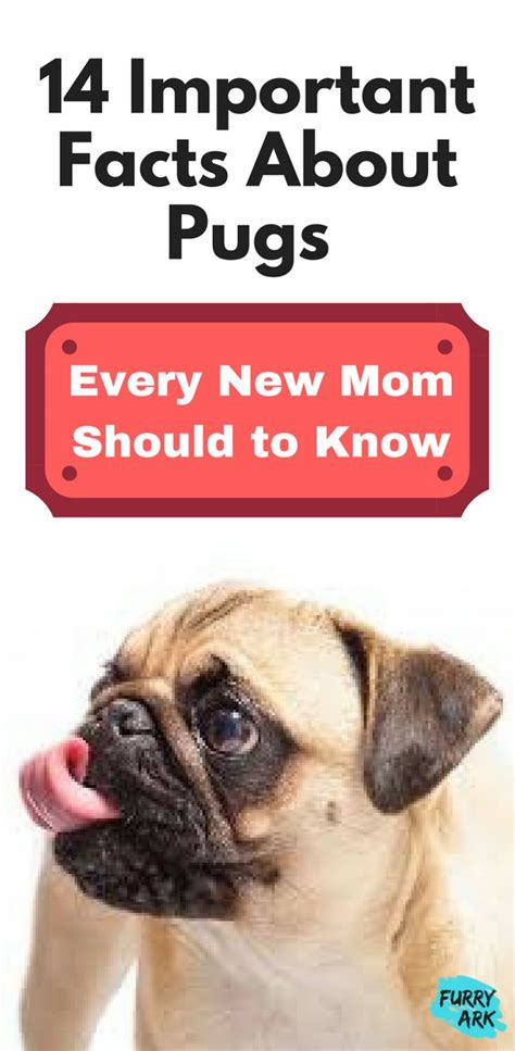 baby pugs facts 25 best ideas about facts about pugs on pug facts animals and puppy
