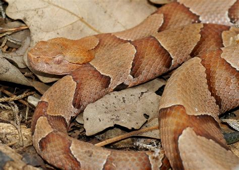 copperhead bite copperhead snakes facts bites babies