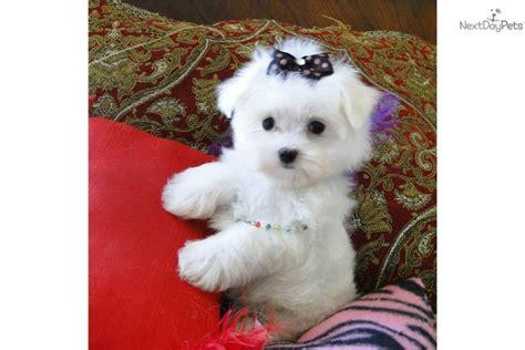 maltese teddy bear cut maltese teddy black and tan teddy bear puppy dog breeds