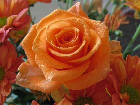 imagenes flores naranjas rosas naranjas im 225 genes y fotos