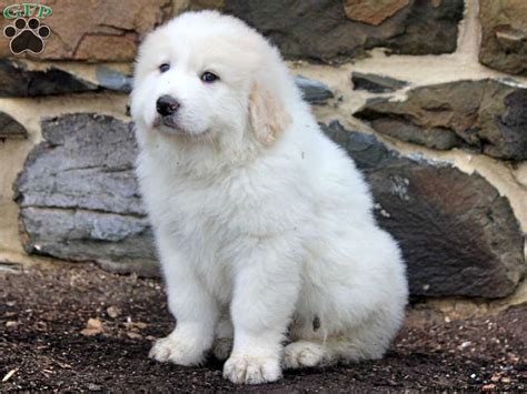 Great Pryness Photo Great Pyrenees Puppies For Sale In Pa Great Pyrenees