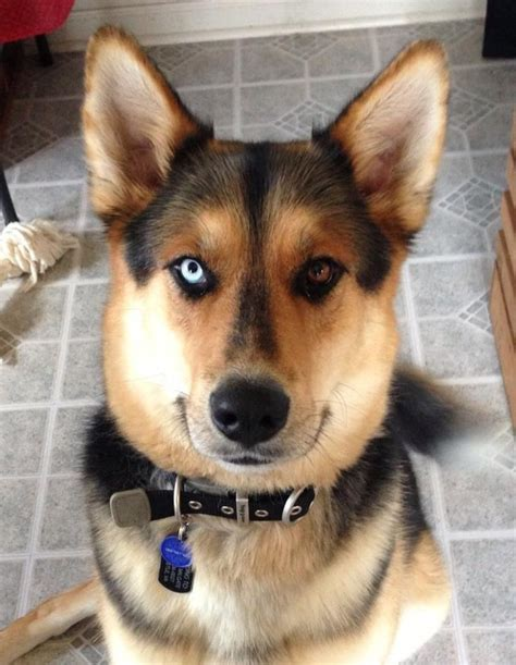 german shepherd mixed with husky husky german shepherd mix best my dogs