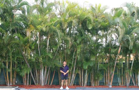 best tree sales privacy palm areca palms palm trees for sale