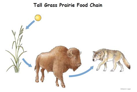 bison food bison food chain pictures to pin on pinsdaddy