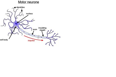 motor neurom neurone pictures to pin on pinsdaddy