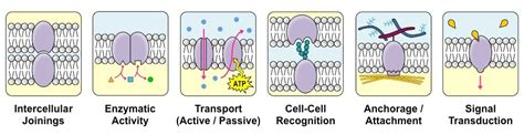 4 proteins in cell membrane chapter 2 the structure of biological membranes borzuya