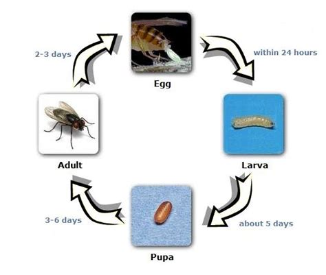 house fly life span house fly life cycle