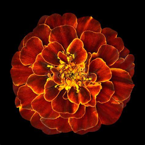 fiore arancio fiore arancio rosso tagete isolato su fondo nero
