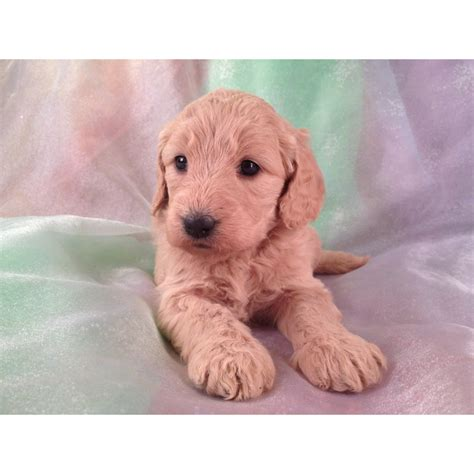 mini goldendoodles raleigh nc puppies for sale goldendoodle miniature goldendoodles