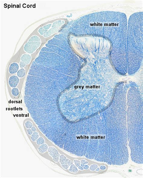 cross section of the mammalian spinal cord file spinal cord histology 01 jpg embryology