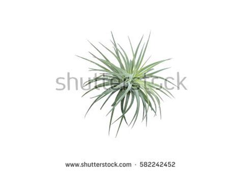 what is the scientific name for air pine branch isolated on white background stock photo 502261345