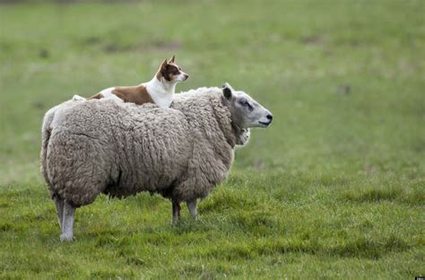sheep puppy rides sheep in the best photo you might see all day