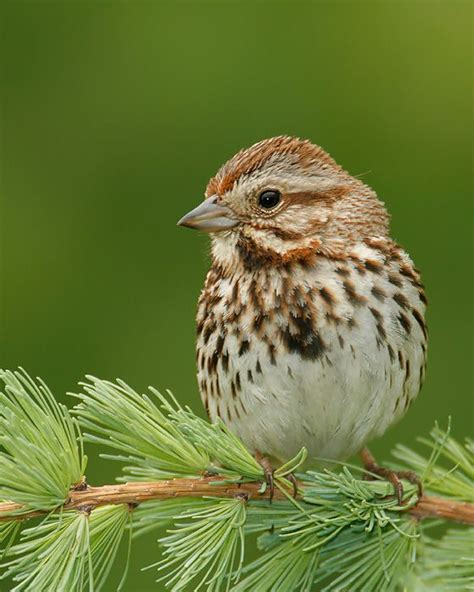 song sparrow for the love of birds pinterest