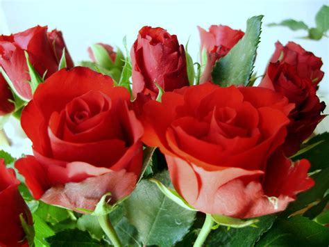 wallpaper flower wala 90 wedding red rose flower wallpapers love roses pictures