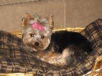 are yorkies easy to potty terrier breed profile dogcast radio