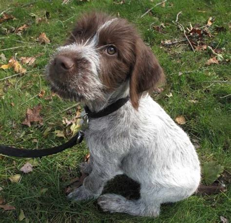 german wirehair puppies german wirehaired pointer k9 research lab