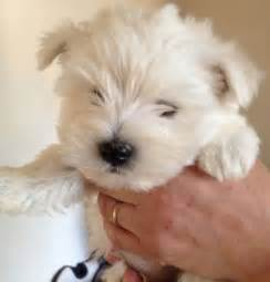 Puppies For Sale Westie Puppies For Sale Stoke On Trent Staffordshire