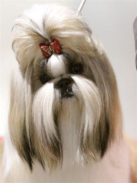 need pictures of shih tzu haircuts pet 17 best images about hair styles on sunglasses foo and image search
