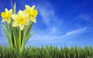 Flowers In Spokane - daffodil wallpapers backgroundhdwallpapers