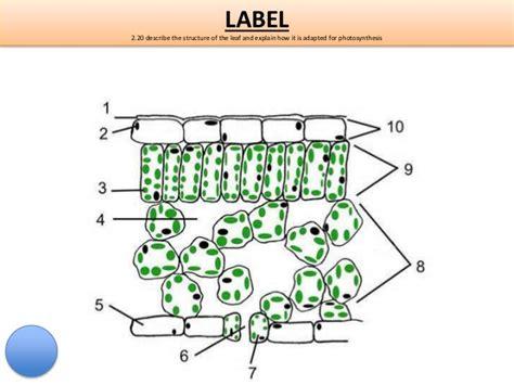 Beschriftung Laubblatt by Igcse Biology Edexcel 2 17 2 32