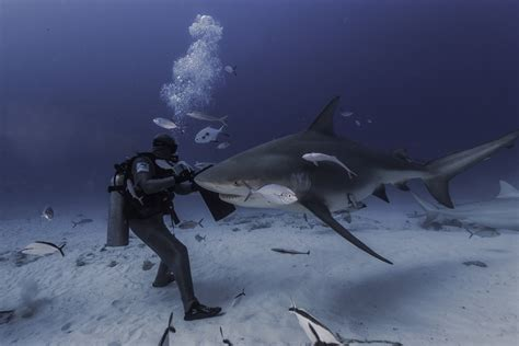 dive shark bull shark scuba diving