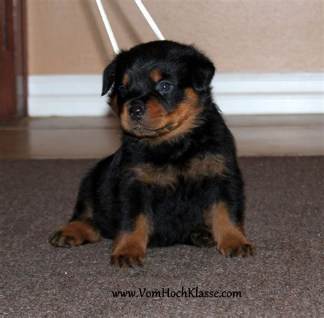 german rottweiler breeders pin rottweiler gallery males on