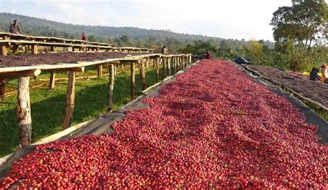 coffee plantation wallpaper ethiopian coffee farm www imgkid com the image kid has it