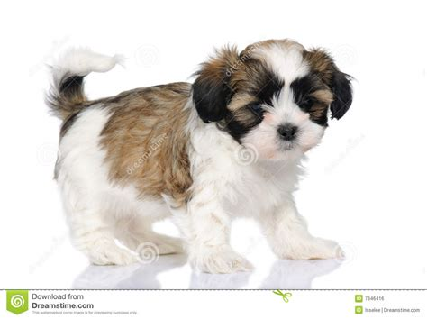 types of shih tzu breeds shih tzu mix breeds breeds picture
