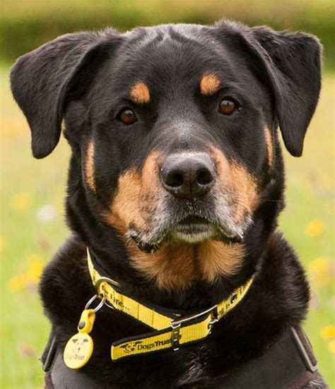 and the tr dogs sponsor a max rottweiler dogs trust