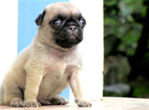 pug puppies for sale in kerala thrissur pug
