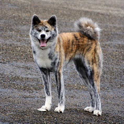 mod the sims new akita inu breed with 5 colours