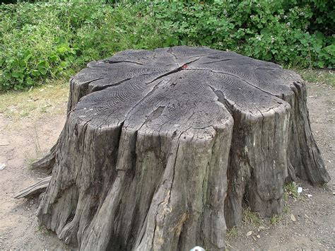 wood stump tree stump wikipedia