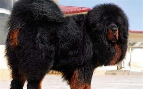 tibetan mastiff puppy top 10 most expensive dogs breed in the world