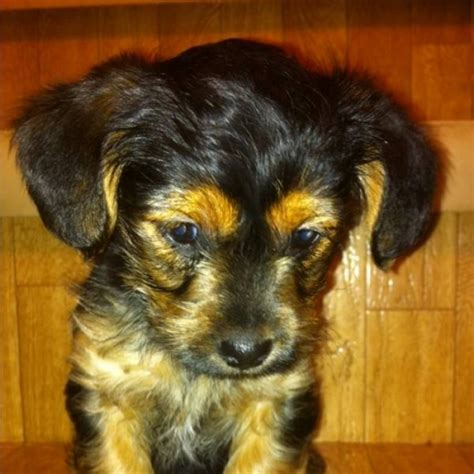 yorkie poo price yorkie poo puppies price reduced for sale in ardrossan alberta ads in alberta