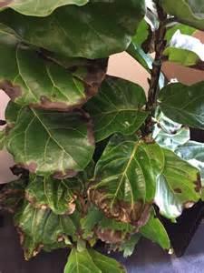 fiddle leaf fig fiddle leaf fig problem