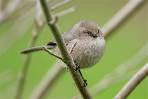 living on earth birdnote 174 bushtit a very tiny songbird