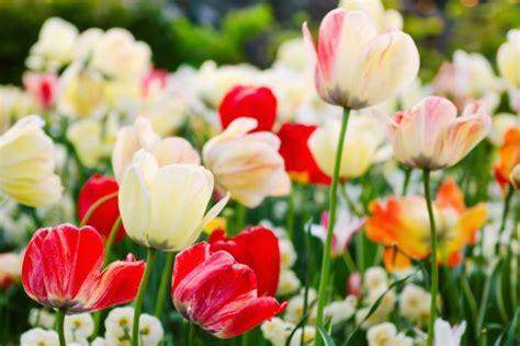 tulipano fiore significato regalare tulipani significato fiori