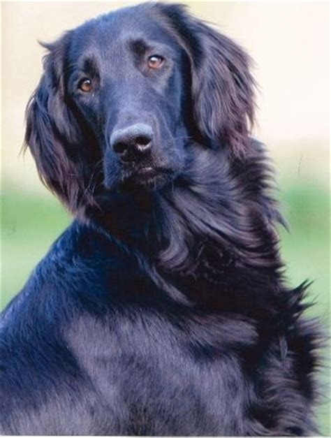 flat coated retriever strong and elegant working retriever dogs planetanimalzone 25 best ideas about flat coated retriever on pets beagle puppies and cute baby dogs
