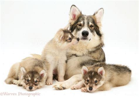 three puppies dogs utonagan with three puppies photo wp13976