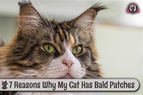 7 Reasons Bald Are by 7 Reasons Why My Cat Has Bald Patches Sweetie 2017