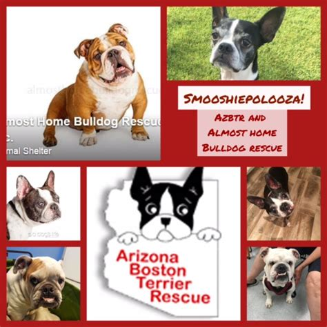 golden retriever rescue tucson boston terrier rescue tucson photo